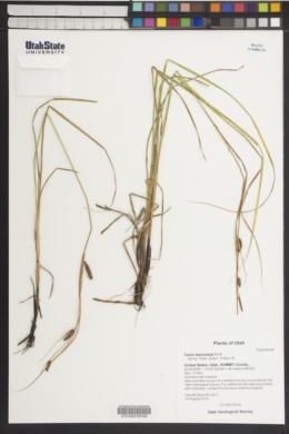 Carex lasiocarpa image