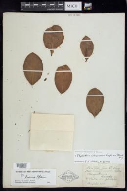 Image of Phyllanthus subcarnosus