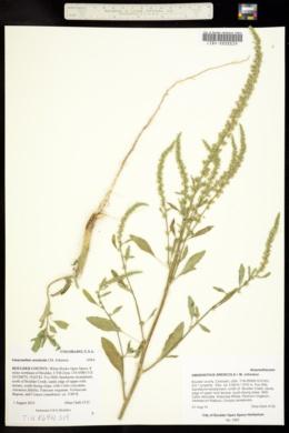 Amaranthus arenicola image