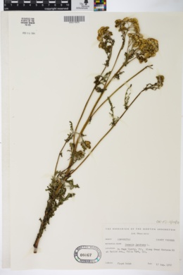 Image of Senecio jacobaea