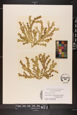 Halimeda cuneata image