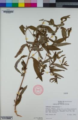 Image of Ludwigia alternifolia