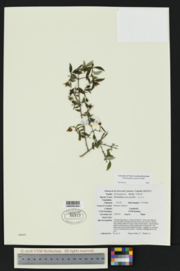 Image of Philadelphus palmeri