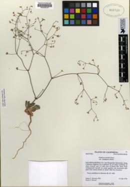 Image of Acanthoscyphus parishii