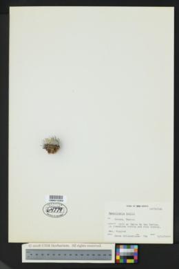 Image of Mammillaria boolii