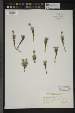 Chamaechaenactis scaposa image