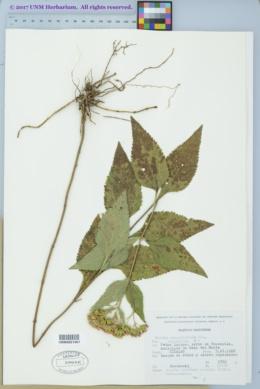 Image of Stevia amblyolepis