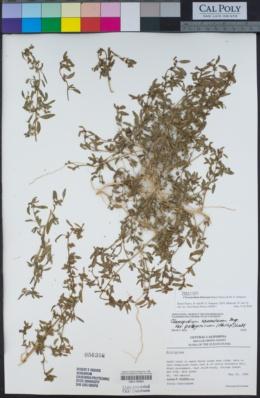 Image of Chenopodium littoreum