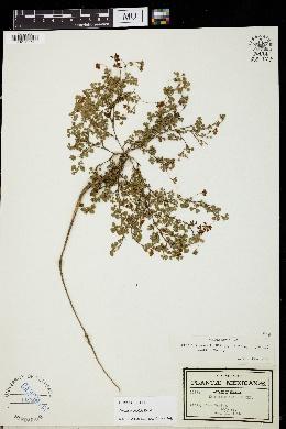 Trifolium amabile image