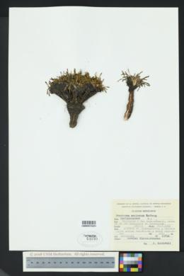 Image of Calandrinia acaulis