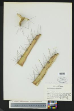 Acanthocereus tetragonus image