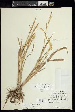 Image of Echinochloa jaliscana