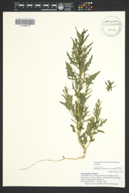 Image of Chenopodium foliosum