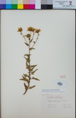 Bahiopsis laciniata image