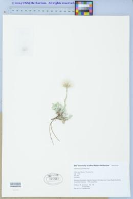 Antennaria parvifolia image