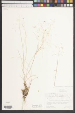 Achnatherum hymenoides image