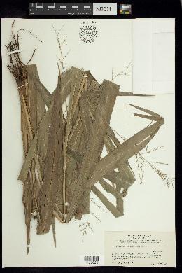 Image of Aakia tuerckheimii