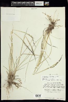 Image of Muhlenbergia mucronata