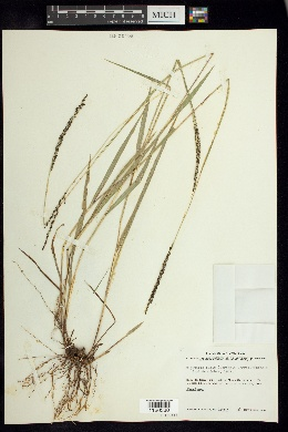 Image of Digitaria badia