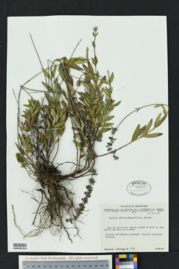 Image of Salvia helianthemifolia