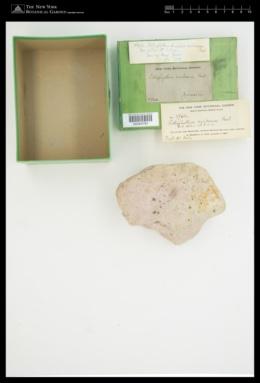 Lithophyllum caribaeum image