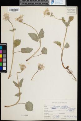 Arnica cordifolia image