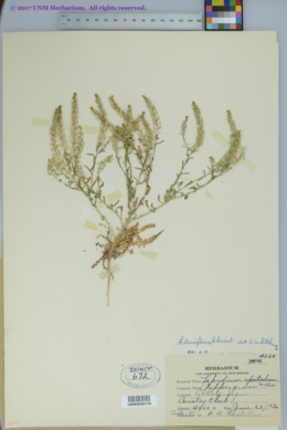 Lepidium densiflorum var. densiflorum image