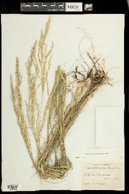 Calamovilfa longifolia image