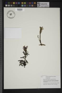 Image of Pedicularis langsdorffii