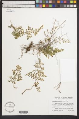 Pellaea andromedifolia image