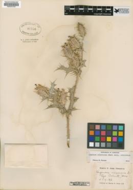 Argemone ochroleuca subsp. ochroleuca image