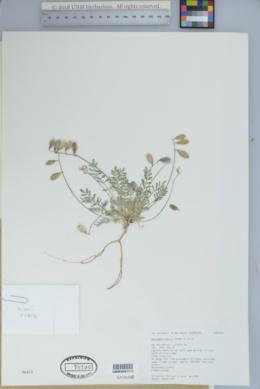 Image of Astragalus kerrii