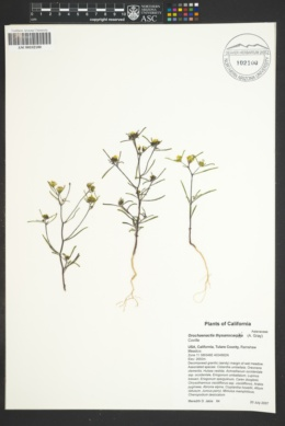 Orochaenactis thysanocarpha image