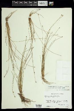 Eleocharis Elliptica SEINet - Arizona Chapt...