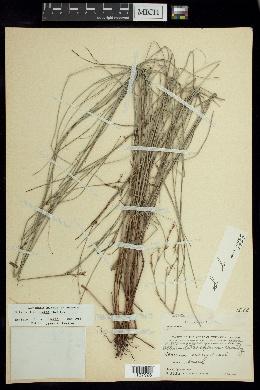 Image of Scleria lithosperma