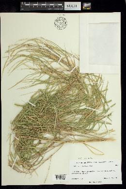 Guadua angustifolia image