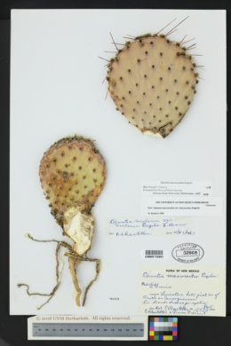 Opuntia macrocentra image
