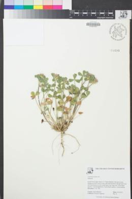 Image of Trifolium hirtum