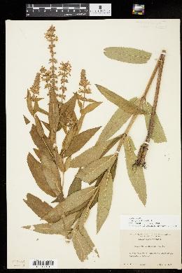 Stachys palustris image