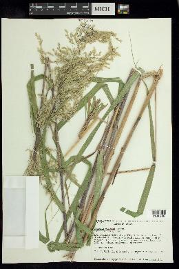 Image of Trisetum virletii