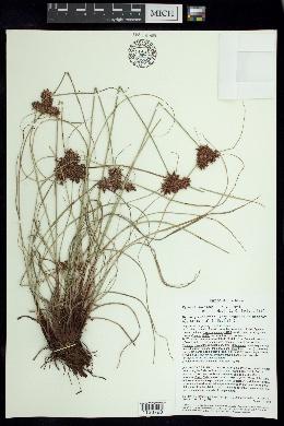 Image of Cyperus sordidus