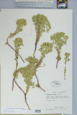 Euphorbia palmeri image