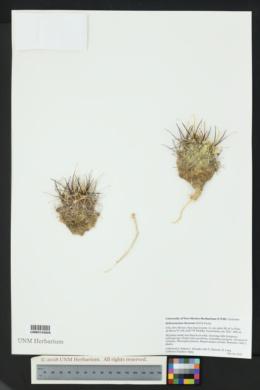 Sclerocactus cloverae image