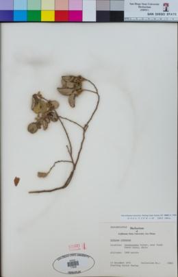 Image of Schinus crenatus