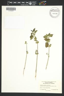 Dicliptera resupinata image