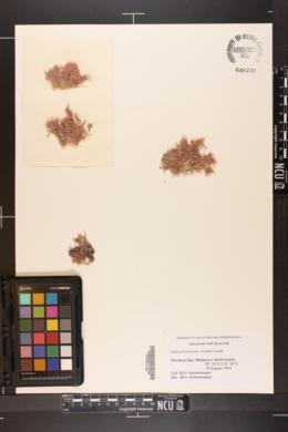 Jania arborescens image