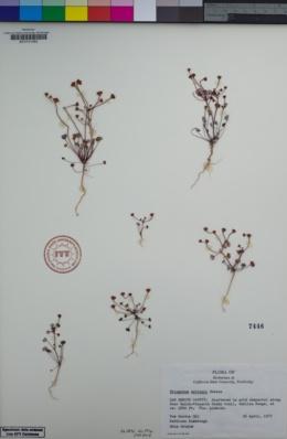 Image of Eriogonum nortonii