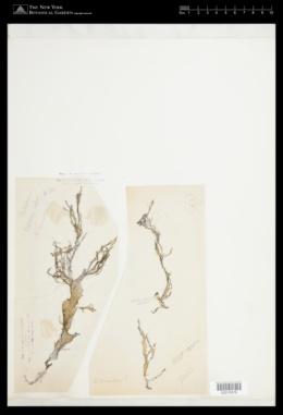 Halymenia durvillei image
