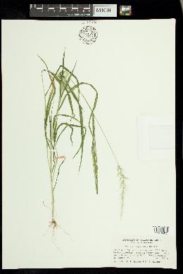 Setaria arizonica image