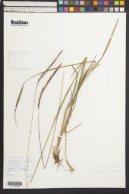 Image of Elymus pendulinus